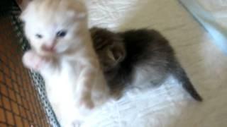 Вислоухие котята www.primcats.ru - открыта запись