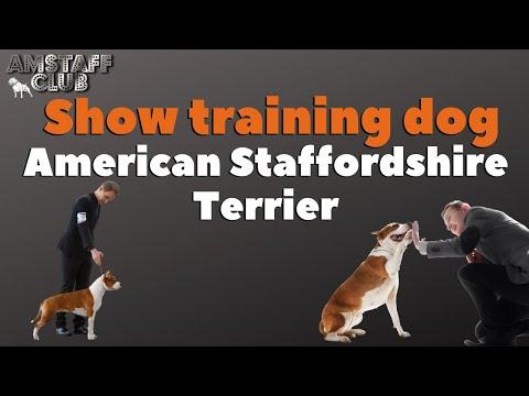Show training dog American Staffordshire Terrier. Handling & show training.