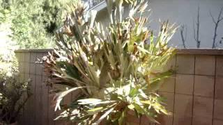 Platycerium bifurcatum or stag horn fern