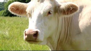 Les bovins aussi se mettent au Bio ! - Teranima TV