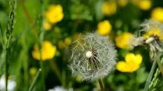 Hortonomi niittyllä. Luonnon kukat. Kukkamaa.