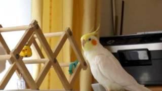 オカメインコ (オス 1歳4ヶ月)フクちゃんが美声をきかせて、 「オーバ...
