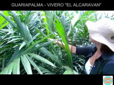 GUARIAPALMA - PALMA DE ACEITE - VIVERO - YouTube - photo#4