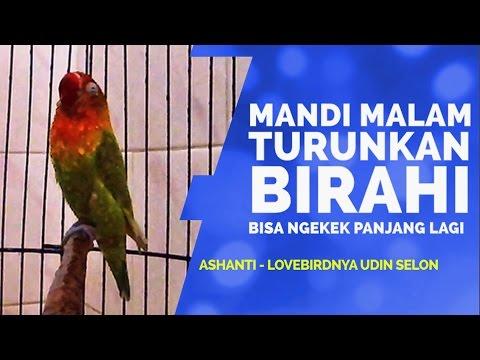 SUARA BURUNG : Mandi Bareng Ashanti Lovebird Ngekek Panjang Udin Selon thumbnail