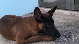 Huấn luyện chó đi rą ngoài không rời chủ.