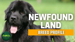 Newfoundland Dogs 101   A Giant Nanny Dog