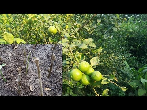 129_How to grow Lemon from cutting || start winter cutting planting
