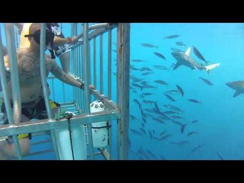 Galapagos shark cage diving