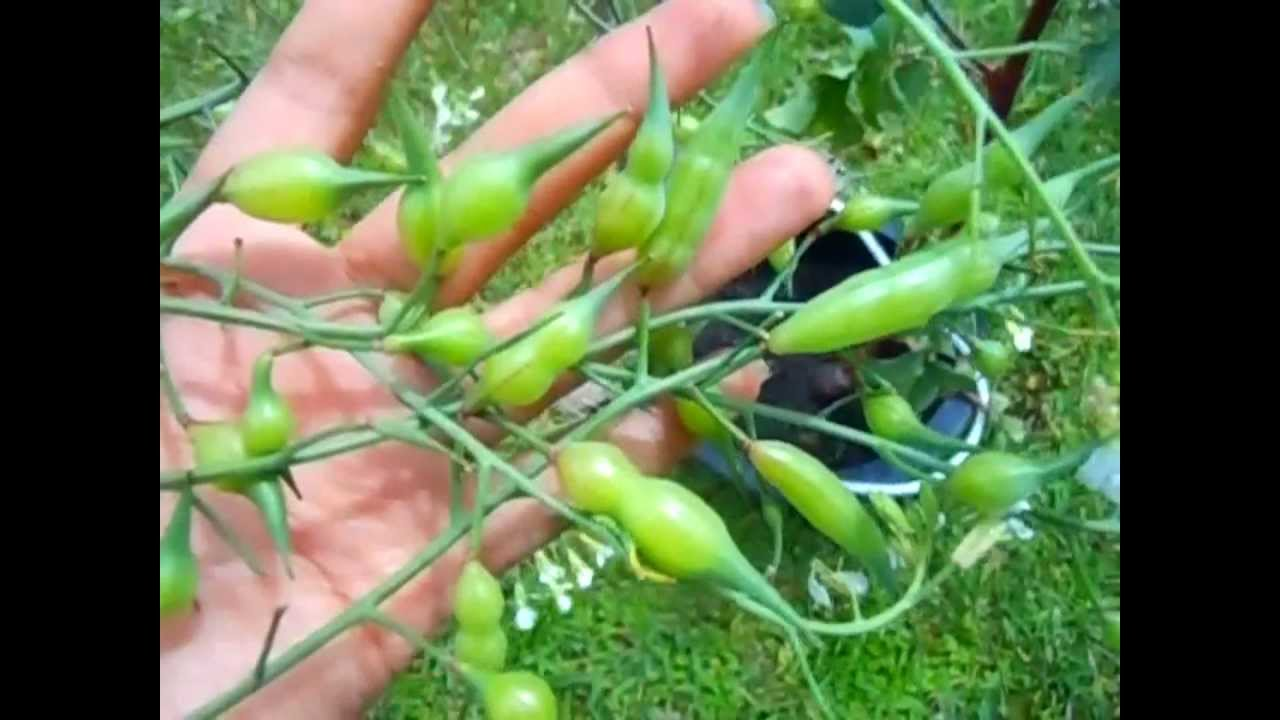 Radish Seed Pods Edible And Tasty