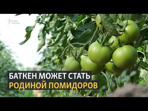 Баткен может стать родиной помидоров