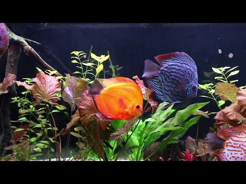 Planted Discus Tank Update