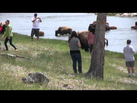 Stupid People by bison in yellowstone.