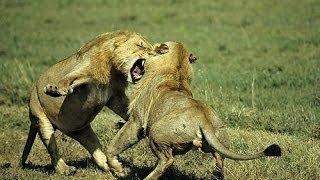 [BBC Animal Documentary] Hyenas Attack Wild African Animals Hunting vesves Mating Documentary H