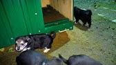 Недорого!. Продам замечательных, высокопородных, подрощенных щенков сибирской хаски от выставочных родителей с отличной родословной.