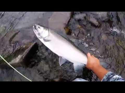 Salmon River Pulaski NY Fresh Silver Coho at the DSR - September 2017