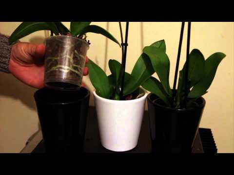 $3 Orchids - How to Buy and Revive Bargain Discount Orchids