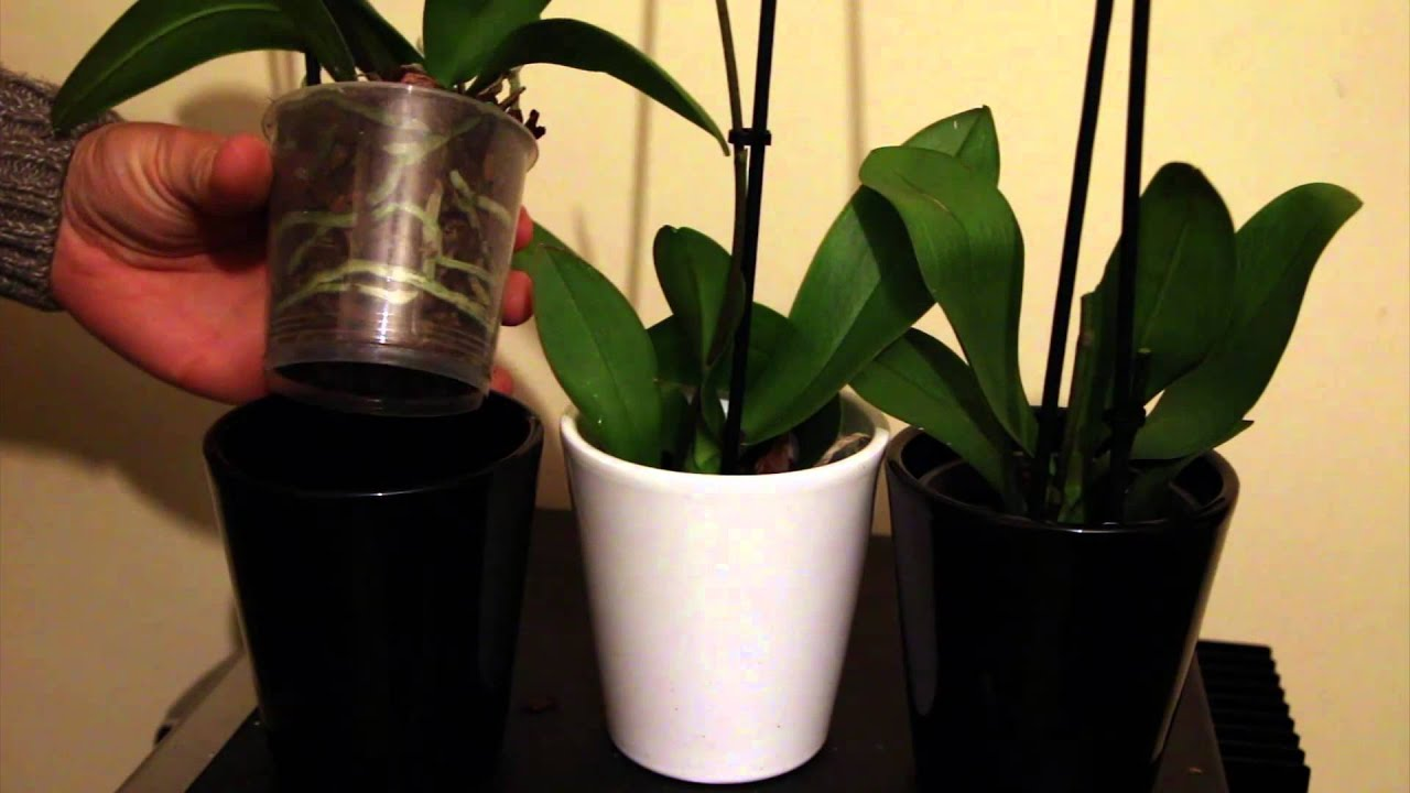 3 orchids how to buy and revive bargain discount orchids youtube izmirmasajfo