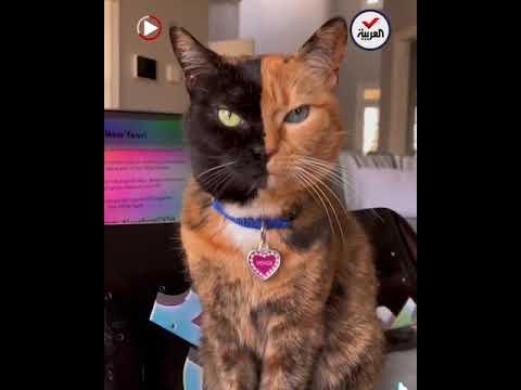 قطة ذات وجهين تأسر القلوب وتحتل مواقع التواصل  - نشر قبل 51 دقيقة