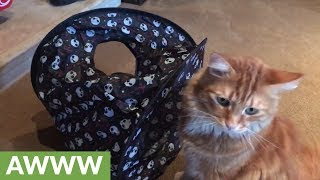 Funny cat loves his drive thru toy tent