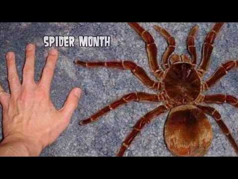 Spider Month on World&39;s Greatest Animals; Brown Recluse Bites