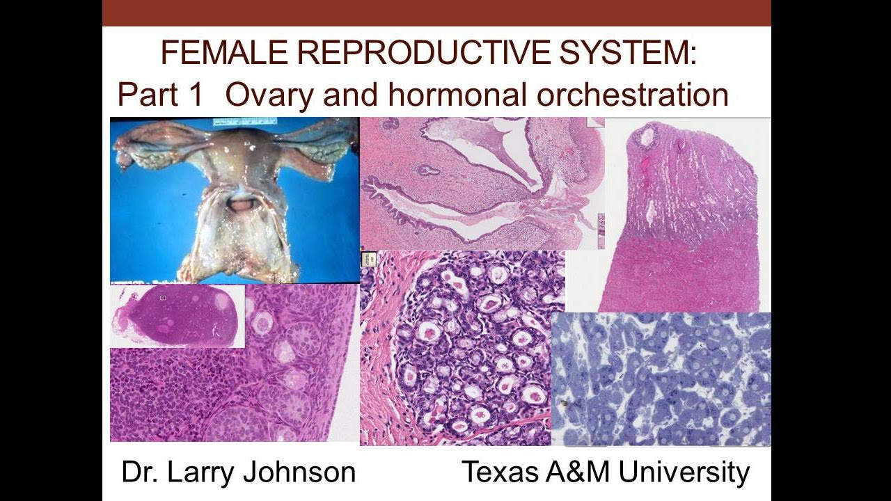 Female Reproductive System - Part 1 - Ovary and Hormonal Orchestration -  YouTube