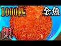 【閲覧注意】1000匹の金魚を腹ペコの古代魚水槽に入れてみたら...