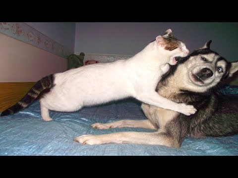 Funny Cats And Dogs - Funny Cats vs Dogs September 2017
