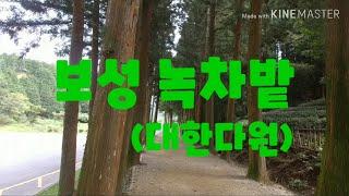 전남 보성 / 대한다원 녹차밭 (20190920)