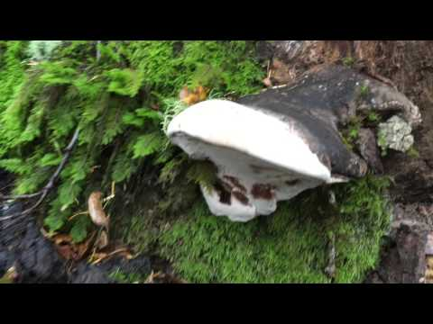 Harvesting Ganoderma Applanatum (Reishi) in the wild