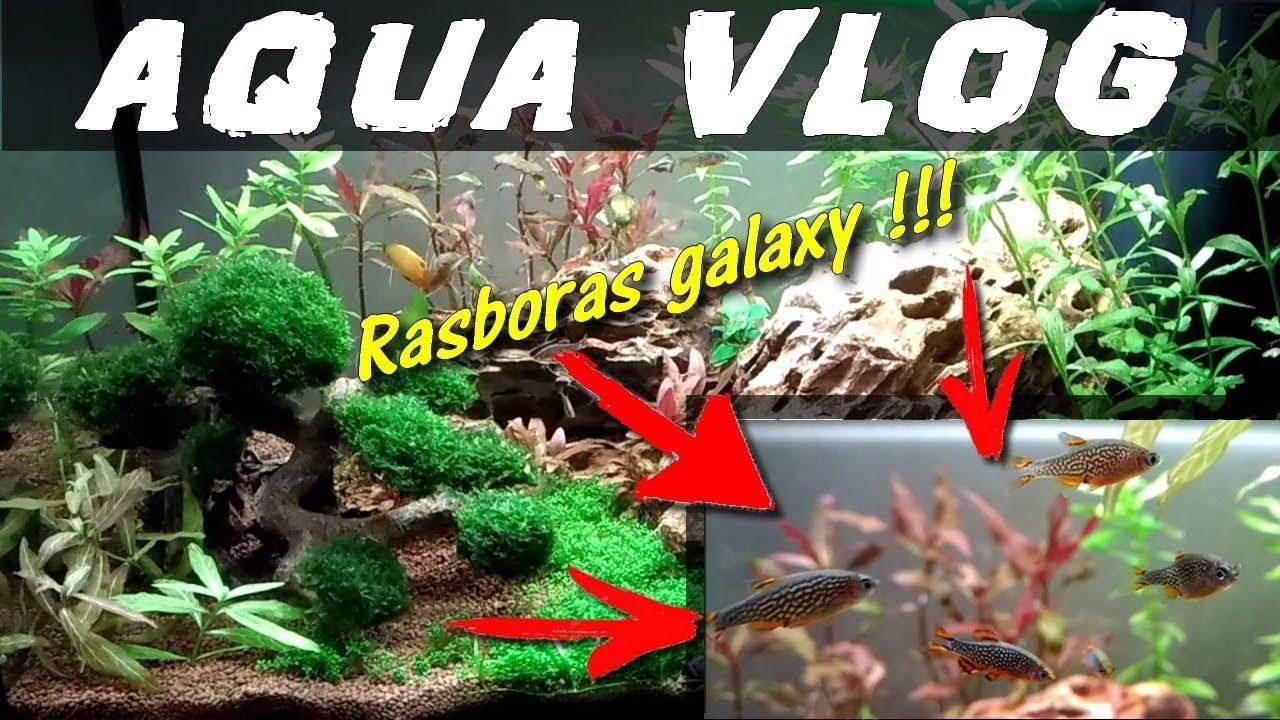 Des Rasboras Galaxy Aquarium 60 Litres Aquariophilie By