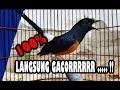 Kasih Obat Ini Burung Kicau Langsung Gacor  Mp3 - Mp4 Download