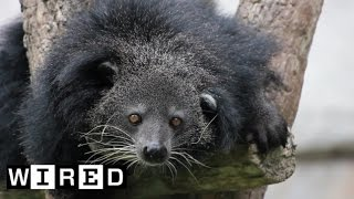 This Bearcat (Yep, It's Real) Smells Like Popcorn | Absurd Creatures