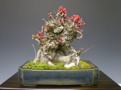 Japanese Quince Bonsai Chaenomeles Japonica Youtube