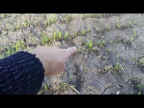 Жужелица атакует пшеницу.