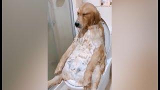 金毛听到要洗澡立马装死,主人只能拉进去洗,结果就是这幅狗生无望的表情 thumbnail