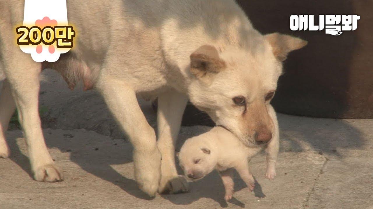 어미개가 보는 앞에서 새끼를 납치해야만 했던 백구의 속사정ㅣDog Saw Her Puppies Being Kidnapped In A Week After Her Delivery