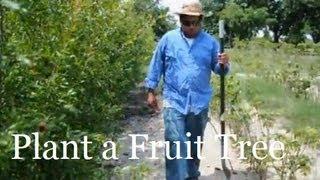 *Prune Pomegranate Trees Correctly*+Eat Pomegranates 1st Yr+