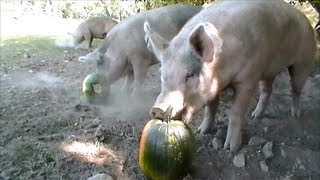 Happy pigs eating pumpkins
