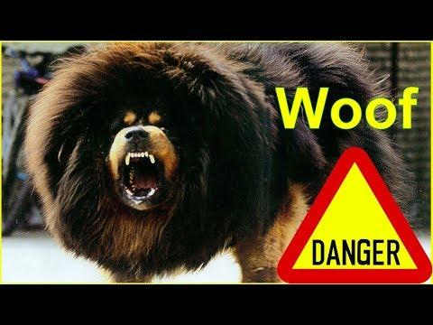 Tibetan Mastiff | Meet Tibetan Mastiff vs Pitbull Dog