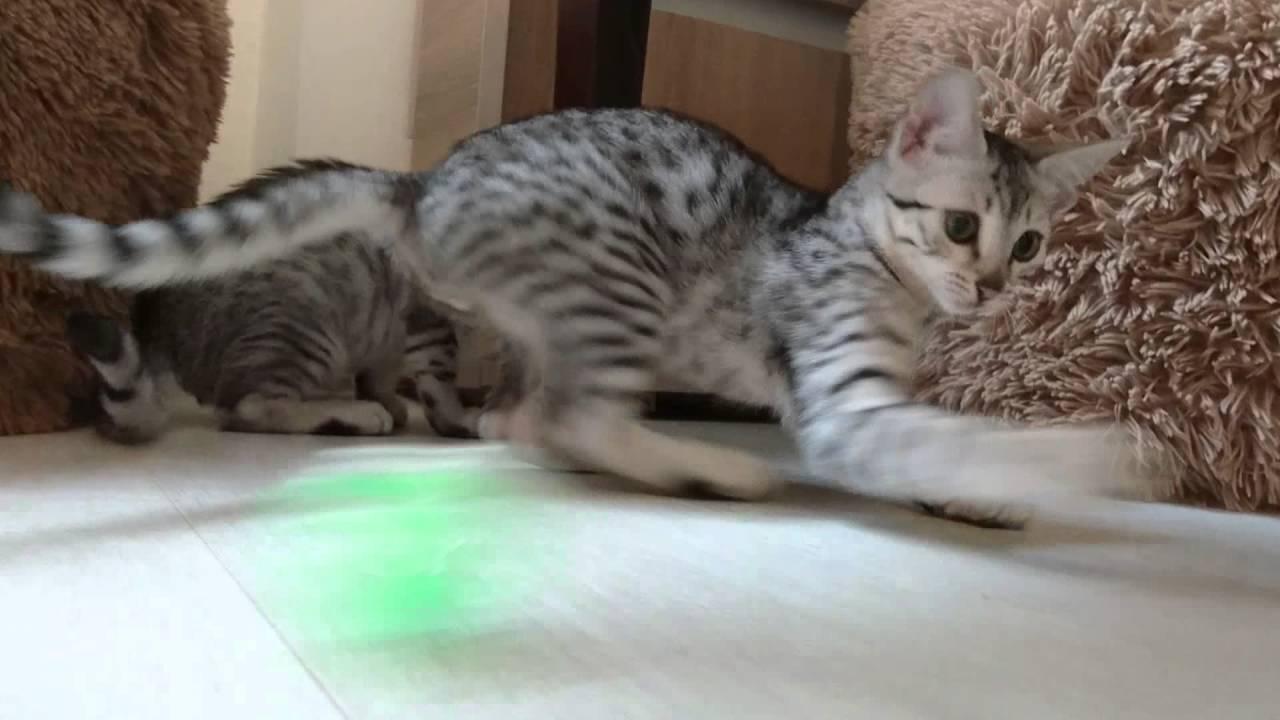 Egipski Mau Zabawa Kociaków Youtube
