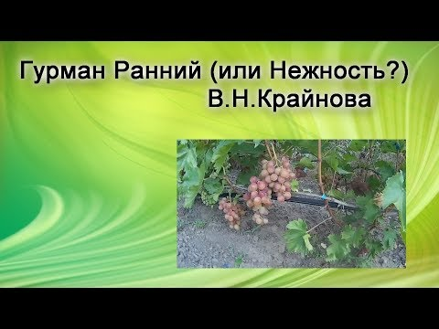 Виноград  ГФ Нежность или Гурман Ранний?