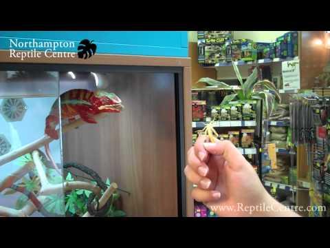 Panther Chameleon & Yemen Chameleon Eating Locusts