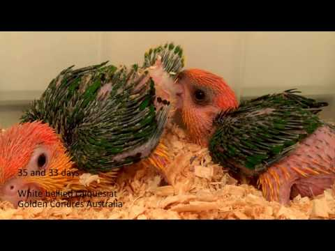 White bellied caique babies from day 1 to 16 weeks