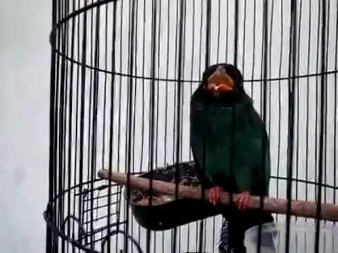 Suara tengkek buto durasi panjang cocok untuk masteran lovebird