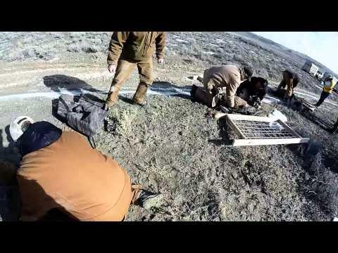 Big Horn Sheep Capture on Newfoundlands