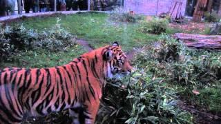Tygrys Sumatrzański we wrocławskim ZOO