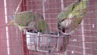 Quaker Parrot eating Strawberry