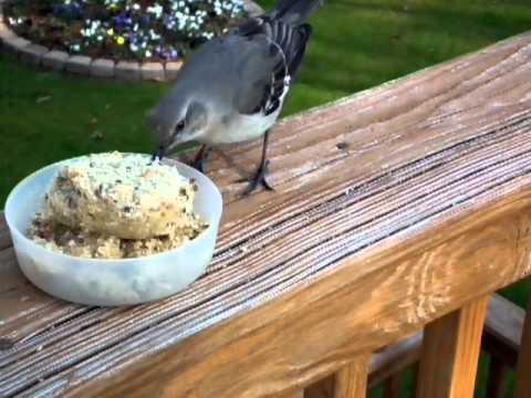 Mockingbird eating homemade suet - YouTube
