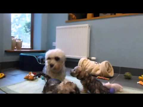 Dandie Dinmont Terrier puppies at 7 weeks