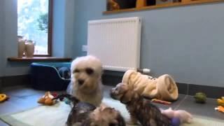 Dandie Dinmont Terrier puppies at 7 weeks